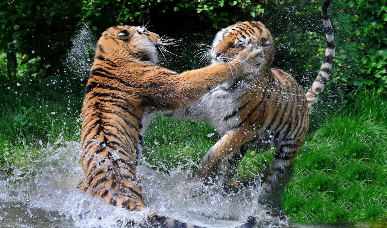 дикие, тигры, кошки, хищники, pair, бой,