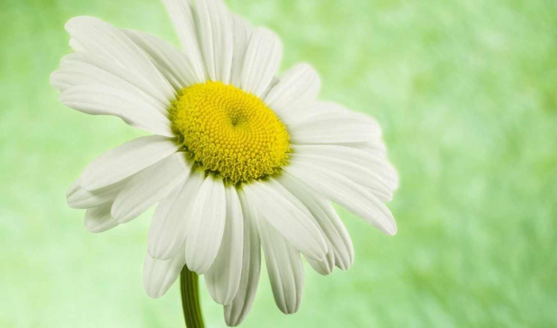 ромашка, цветы, ромашки,