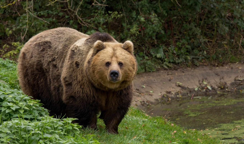 brunatny, pulpit, bears, tapety, niedzwiedz, niedźwiedź, tapet, twitch, zobacz,