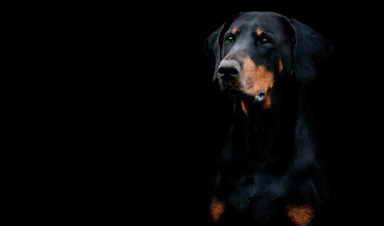 доберман, pinsch, собака, фон, чёрн