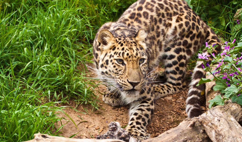 леопард, animals, amur, кот, леопарды,