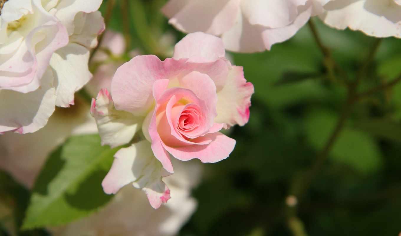 где, розы, только, красивые, цветы, свое, счастье, живые, чудеса,