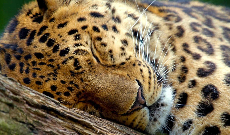 леопард, marwell, zoo, животные, быстро, наши, тегам, следующим, найти, possible,