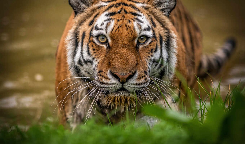 тигр, морда, кот, fond, tigre, взгляд, wild, трава, animal