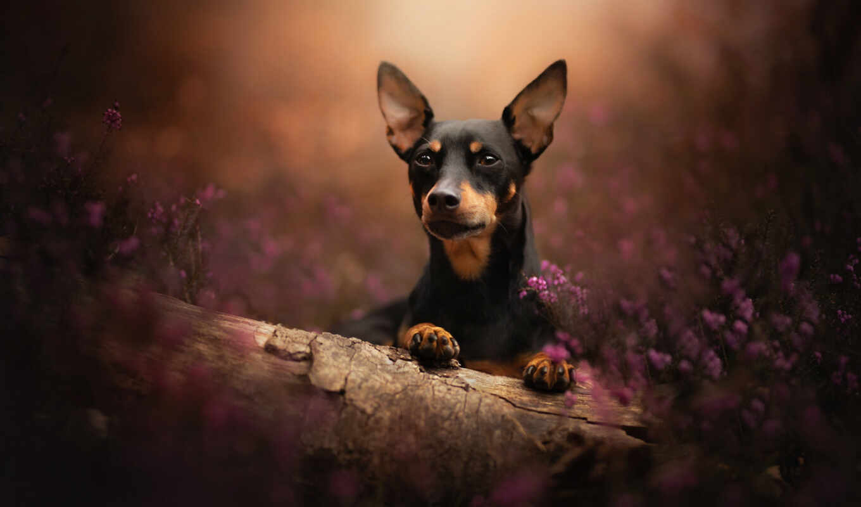 собака, pinsch, miniature, песик, мордашка, глаза, side, log, heather