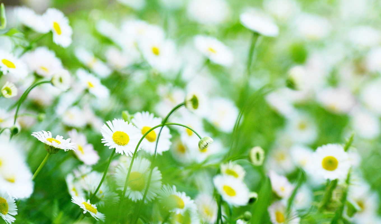 цветы, ромашка, цвета, ромашки, янв,