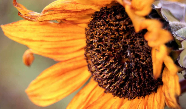 осень, подсолнухи, подсолхну, осенью, подсолнух, быстро, цветы,