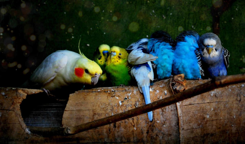 обои, попугаи, попугай, попугаев, mb, шт, волнисты