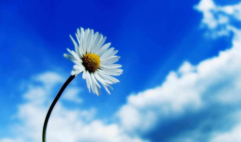 flower, sky, desktop, white, flowers, ромашка, nature, high, spring, download, здравствуйте, background, ipad, resolution,