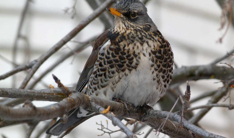 fieldfare, birds, tapet, top, you, znajdziesz, они, картинка,