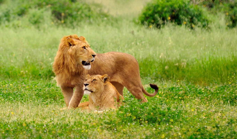 львы, lion, львица, животные, качестве,