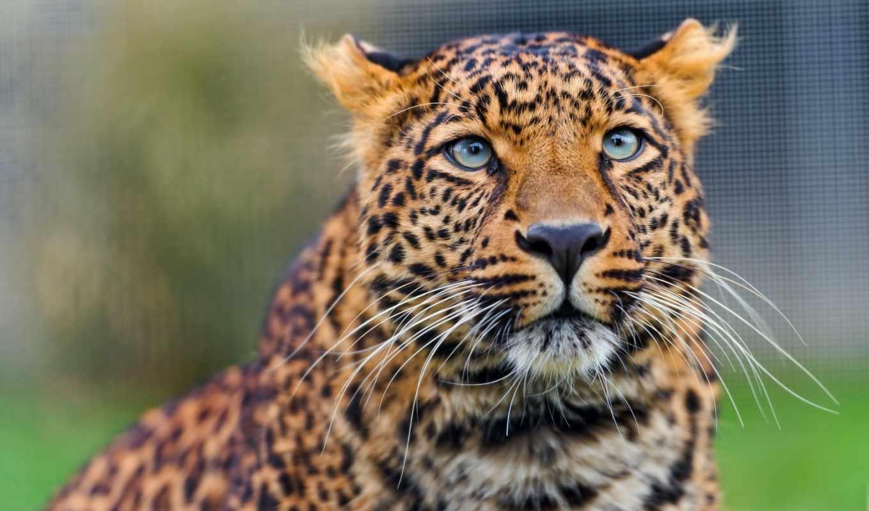 леопард, amur, взгляд, морда, кот, хищник, ложь,