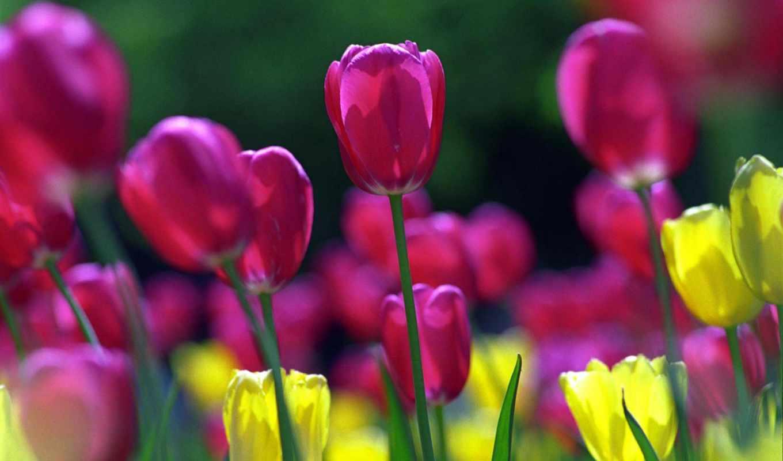 тюльпаны, цветы, поле,