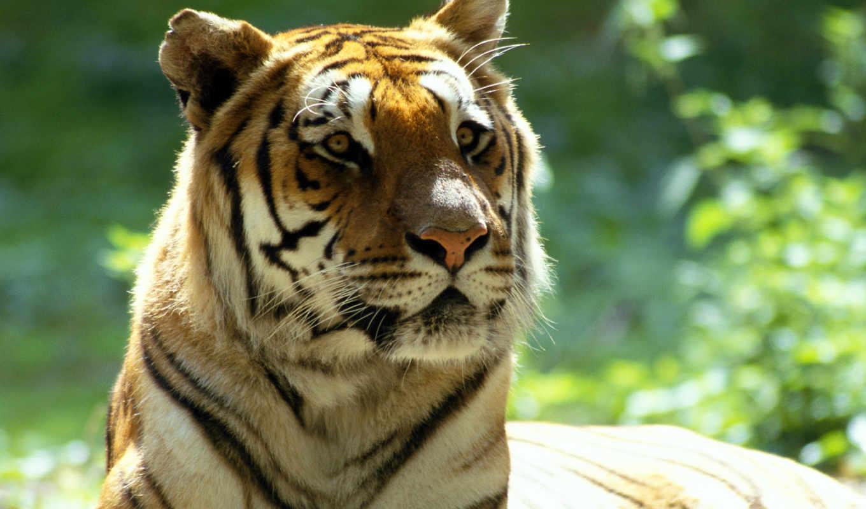 zhivotnye, красивые, тигры, кошки, заставки,