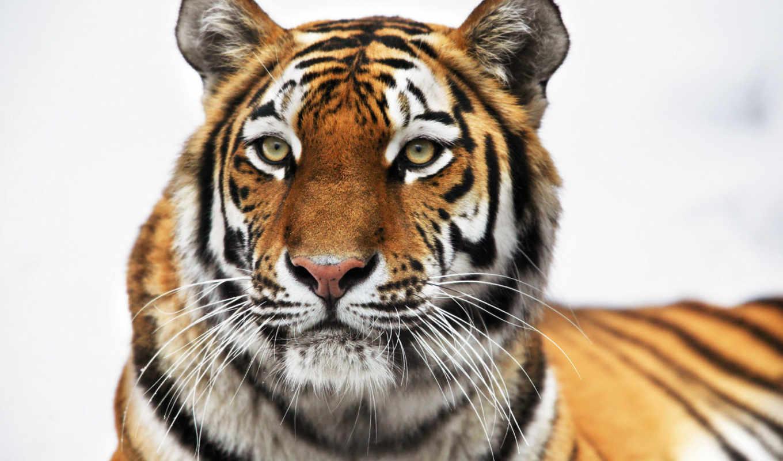 тигр, zoo, animals, взгляд, корзина, добавить, suggestions, pictures, кот,