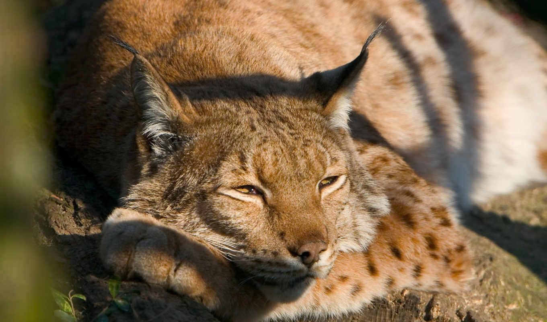 отдыхе, спит, дереве, рись, дерево, похожие, рыси, bored,