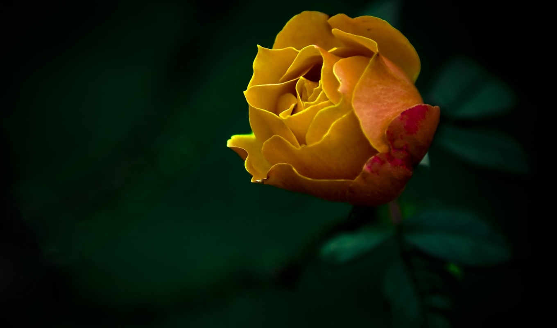 роза, цветы, природа, желтая, картинка, картинку, желтый,
