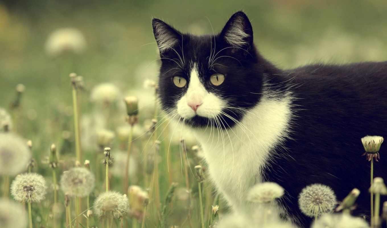 цветы, луг, одуванчики, кот,