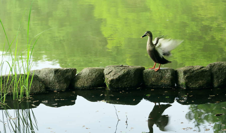 , природа, пруд, птица, гусь, камни,