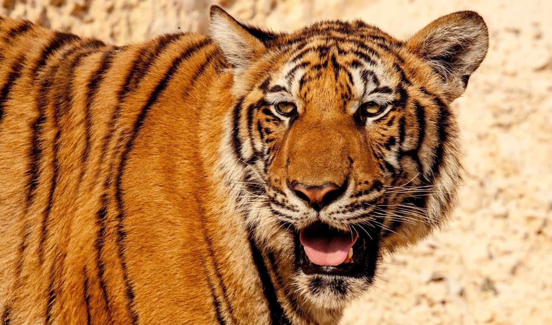 color, тигр, страница, день, кот, глаза, ria, крымский, wild, природа