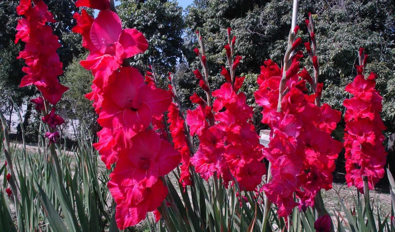 гладиолусы, red, цветы, смотреть, обою, истинном, размере, ecran, sur,