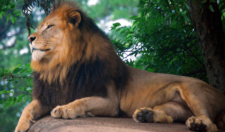 león, леон, fondos, pantalla, rey, leones, selva, animales,