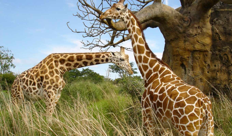 animales, animal, puzzles, naturaleza, jirafa, free, desktop,