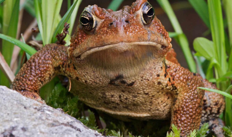 toad, лягушки, разноцветные, коричневая, зверушки, жабы, очень, комментариев, свернуть, ноября, яndex,