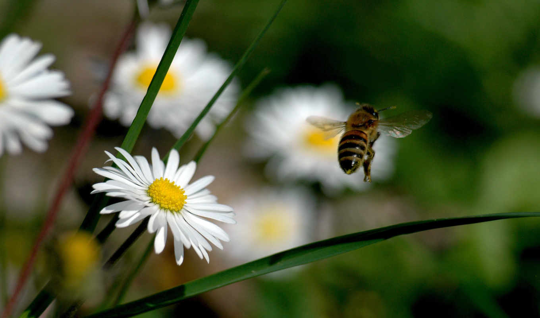 пчелка, цветы, взгляд, трава, опыление, поле, летит, полет, red,