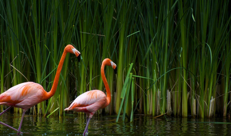 фламинго, птицы, zhivotnye,