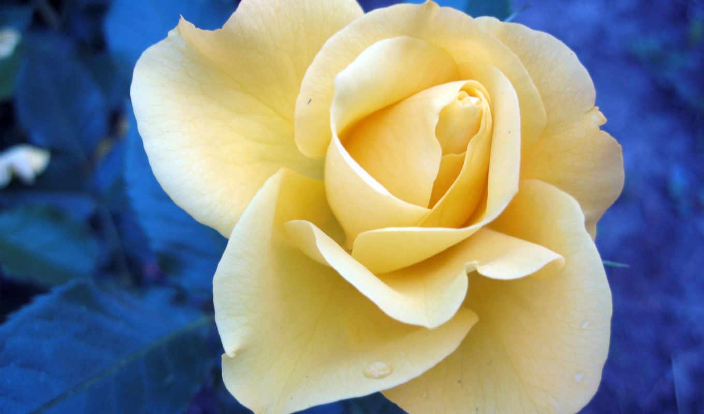 роза, martha, yellow, views, клип, количество, розовый, полностью, смотреть,