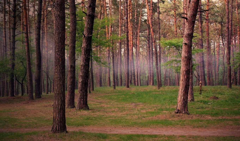 лес, pine, bora, фотоальбом, siberian, участница, еловый, красотища