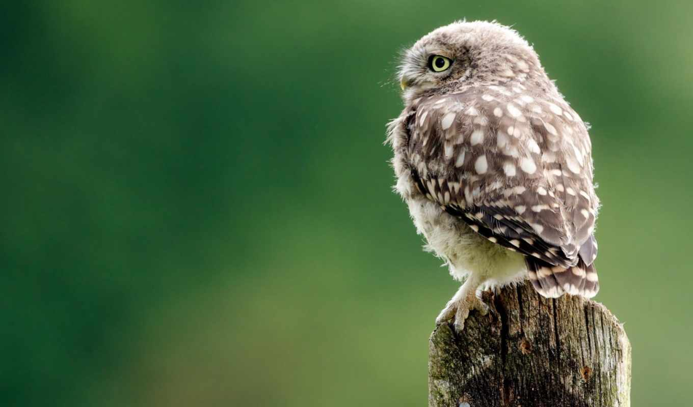 desktop, background, bird, owl, how, select, right, awesome,