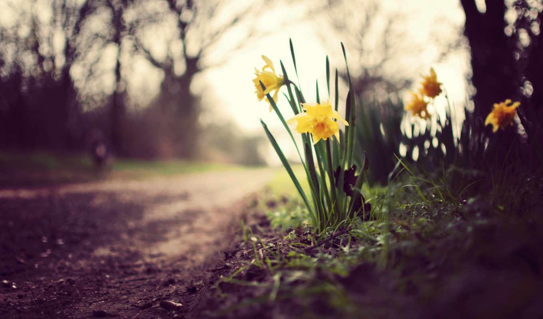 цветы, трава, природа, зелёный, растительность, нарциссы, макро,