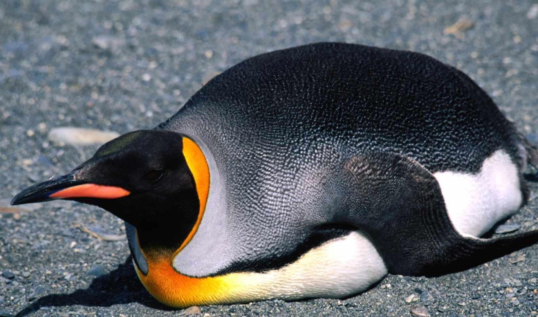 king, пингвин, тигр, belly, slide, тоди, под, названием,
