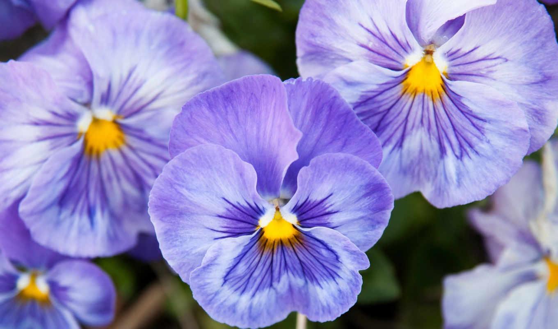 цветы, глазки, анютины, виола,