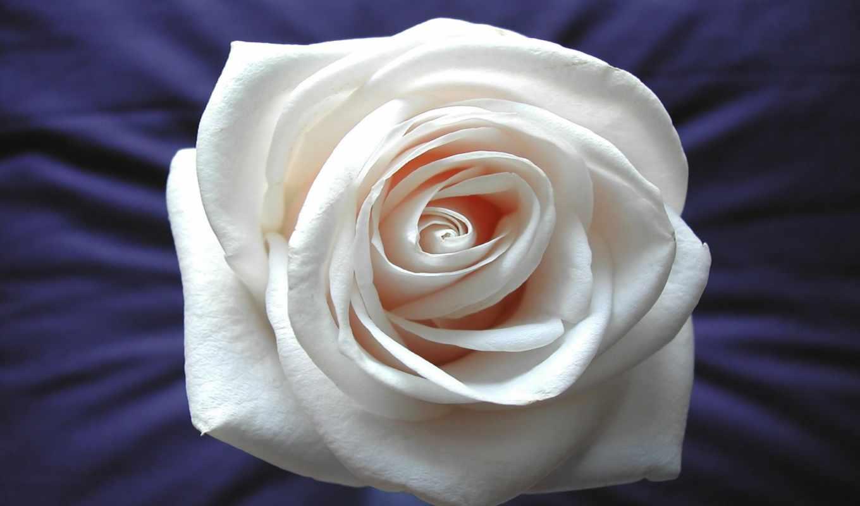 flor, rosa, blanco, fondos, pantalla, color, gratis, flores, hermosa, agua,