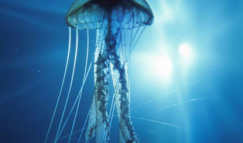 медуз, jellyfish, видов, море, коллекция, everything, форматы, где, закачки,