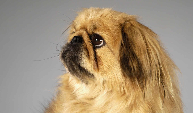 собака, мире, собаки, собак, породы, мордой, приплюснутой, пекинский,