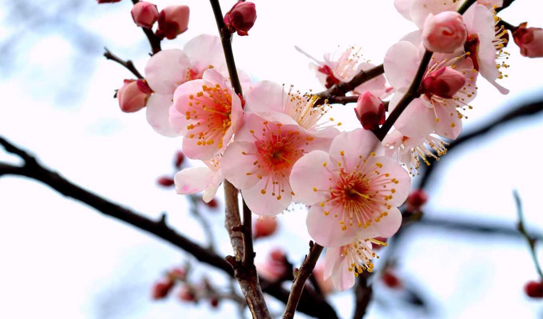 branch, цветы, китаянка, лепесток, вышивка, стихи, язык, бутон, схема, сакур, makryi