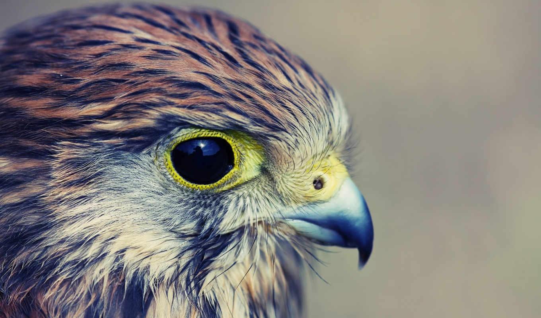 орел, профиль, птица, взгляд, белоголовый,