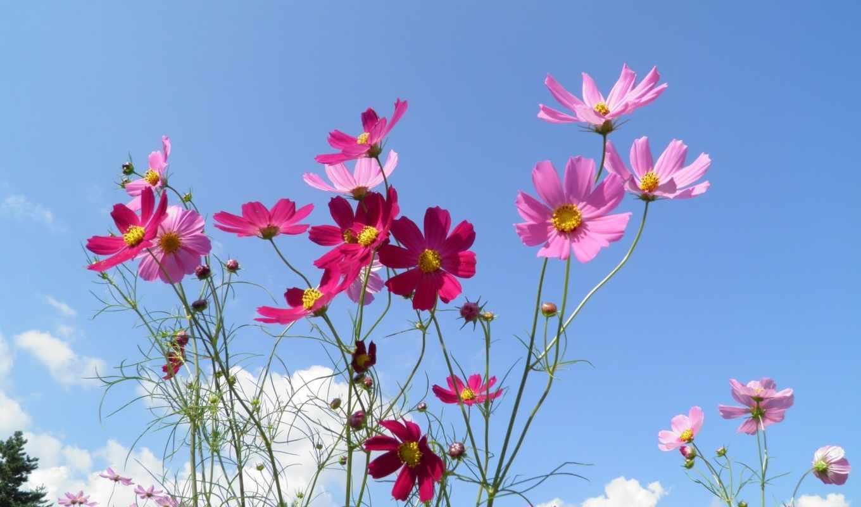 flowers, космея, небо, цветы, sunny, луг, preview,