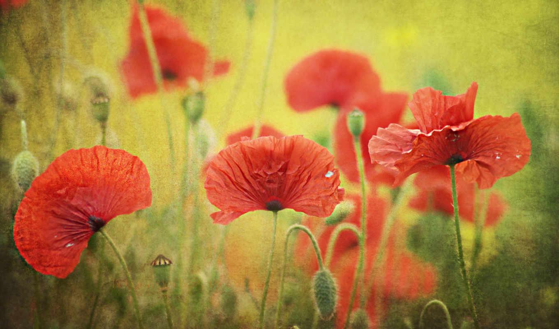 маки, cvety, priroda, pole, kartinka, красные,