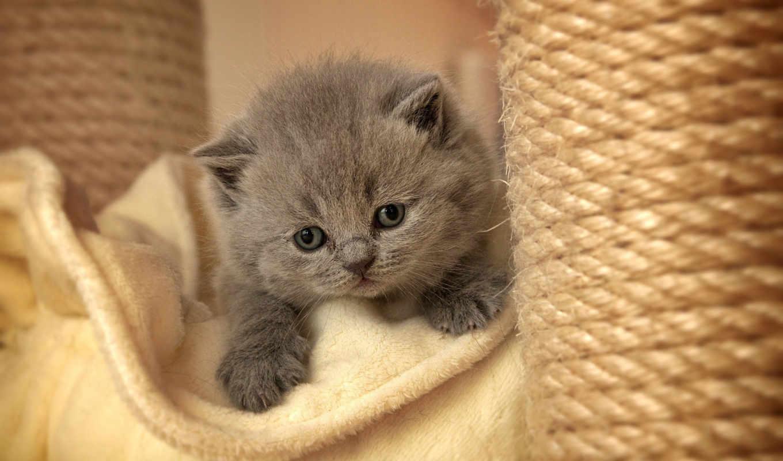 котенок, серый, пушистый, разрешениях, разных,