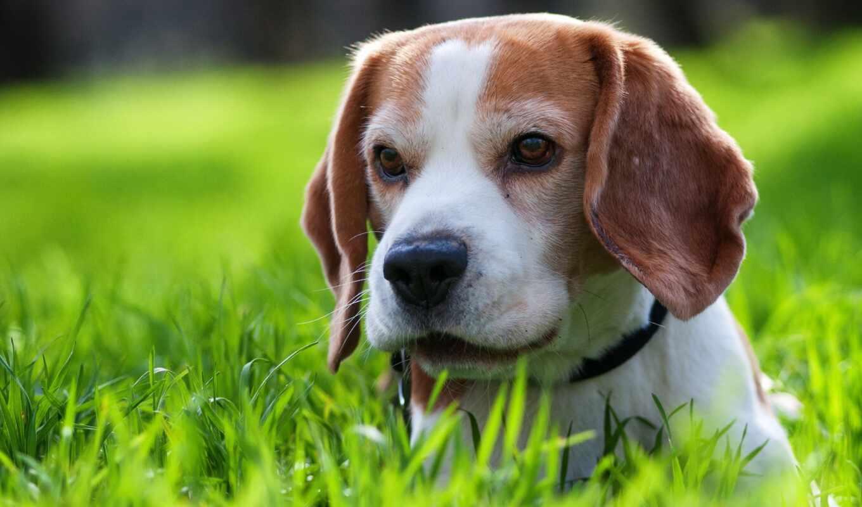 beagle, cute, песни, щенок, songs, puppies, детишки, детей,