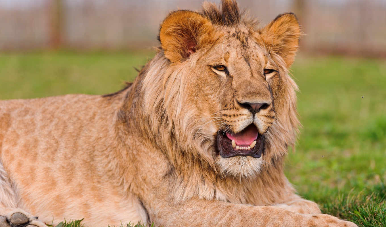 lion, молодой, разных, отдыхает, камне, львенок,