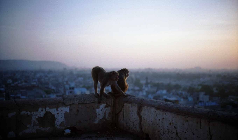 обезьяны, monkeys, крыше, monkey, друзья, temple,