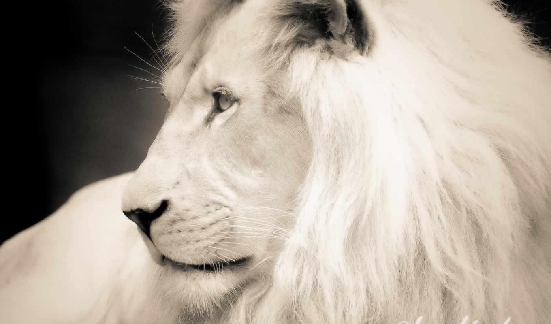 лев, грива,