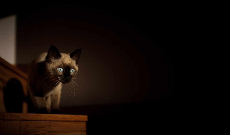 фотографии, free, high, кошки, gato, siamés, definition, животными,