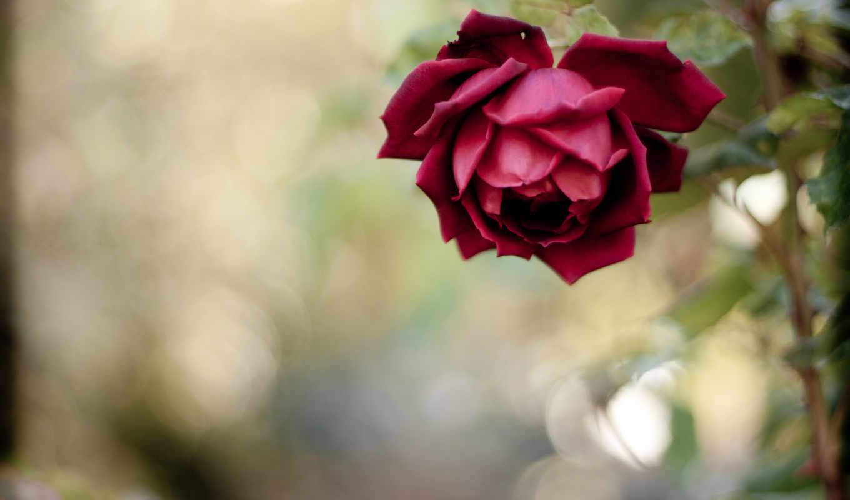 роза, цветы, лепестки, красная,